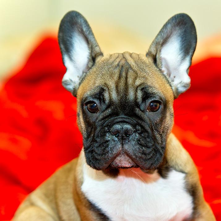 El Bulldog Francés es propenso al glaucoma