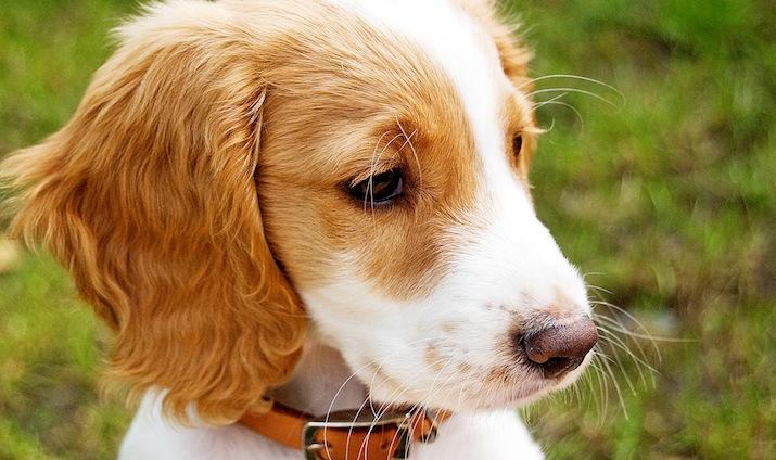 cocker-cachorro-by-BusyBeecr