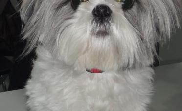 Glaucoma perro raza Shih Tzu