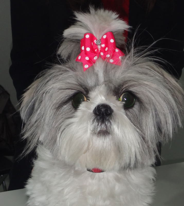 Perro raza Shi-Tzu con glaucoma