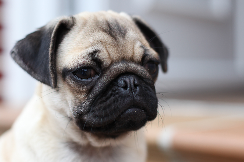 El carlino o pug tiene predisposición a las úlceras oculares.