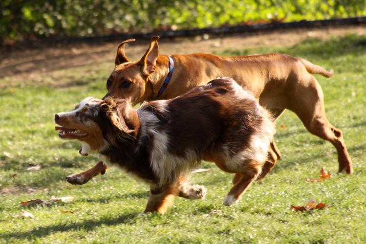 perros-patologias-catarata-glaucoma