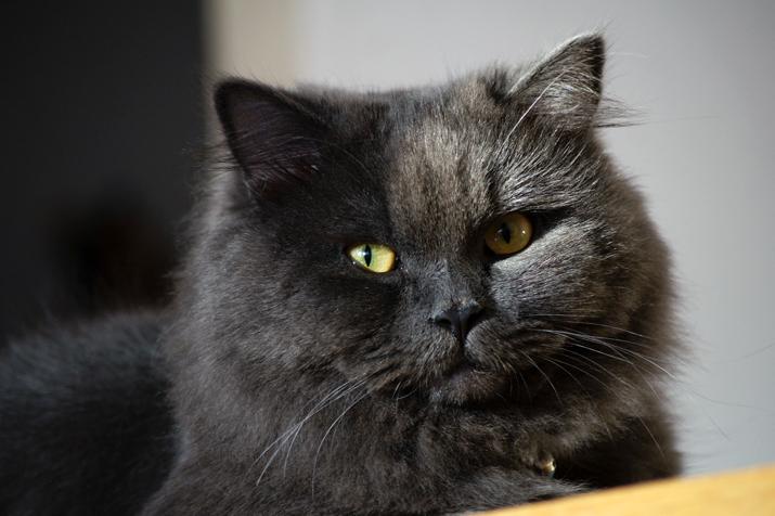 Los ojos saltones de algunas razas de gatos, como los persas, hace que tengan mayor predisposición a padecer necrosis