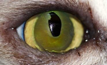 Ojo gato con secuestro corneal