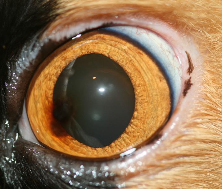 Secuestro corneal felino o necrosis
