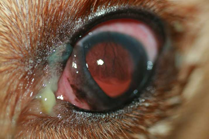 Alergias y conjuntivitis perro