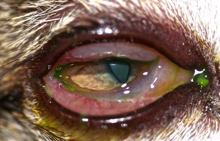 Conmjuntivitis-gato-web