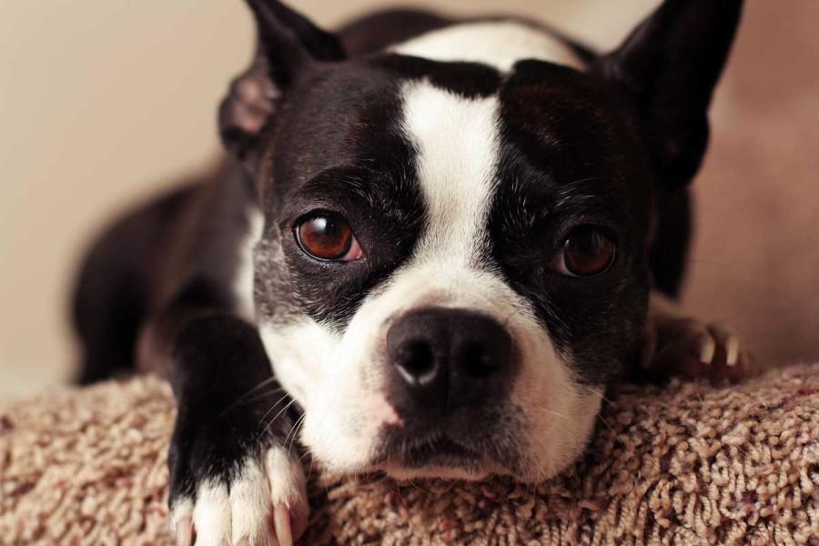 Conjuntivitis perro