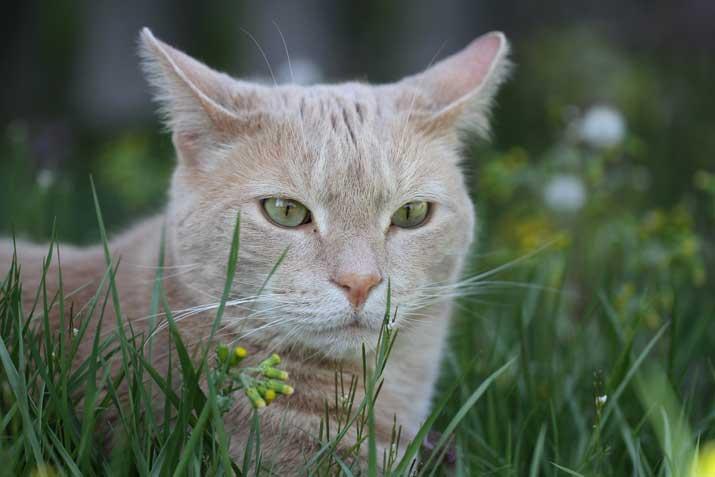 Los gatos pueden distinguir un ratón a 75 m de distancia