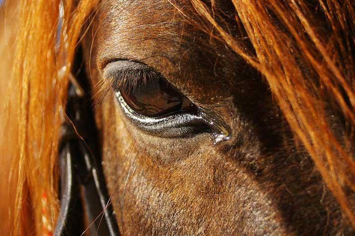 caballos-uveitis-715