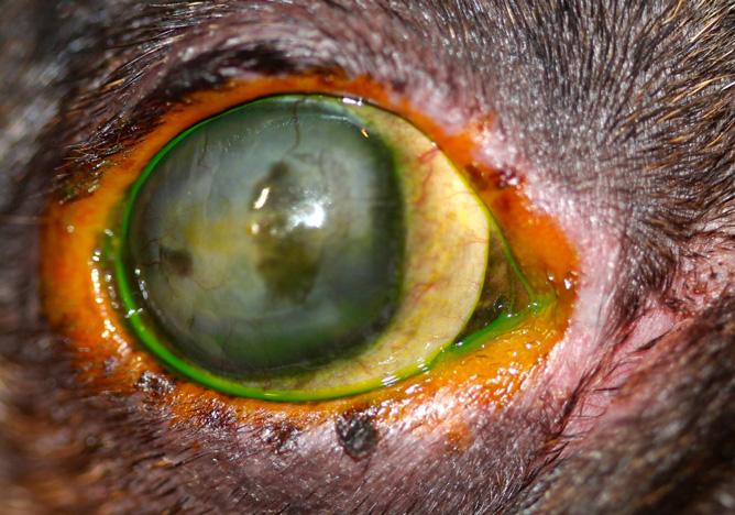 Blefaritis alergica con infección bacteriana secundaria en un Bulldog Francés