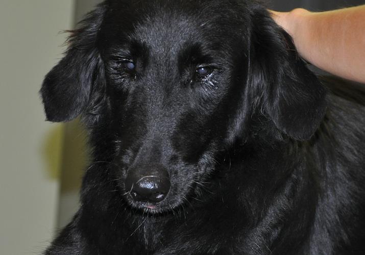 Perro con cataratas congénitas o juveniles