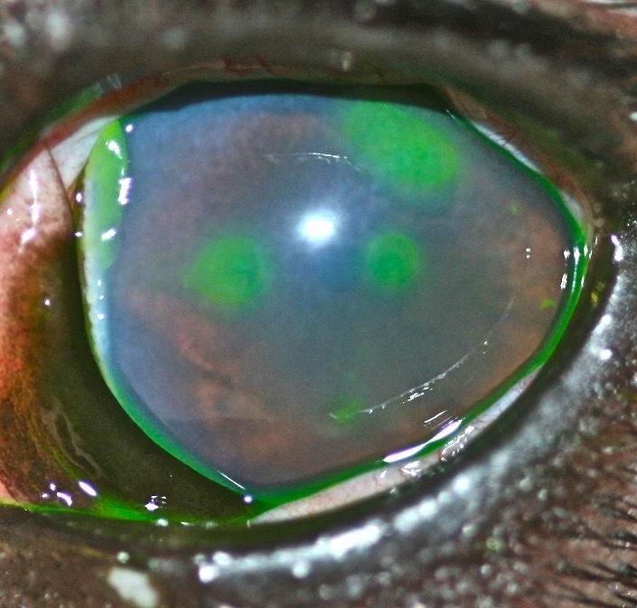 Lesiones ojo perro por procesionaria