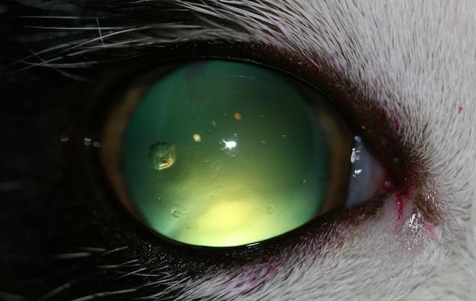 Queratitis-bullosa-gato