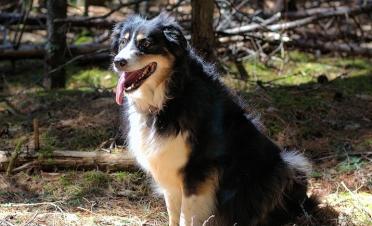 Australian Shepherd paseando por el bosque