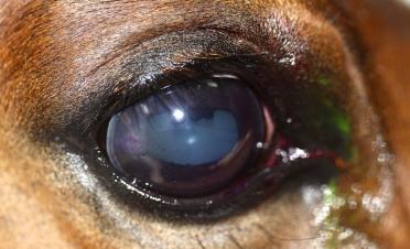 Queratoconjuntivitis-herpetica-caballo