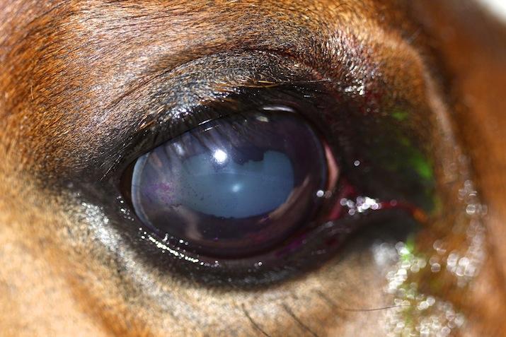 Queratoconjuntivitis herpética en un caballo