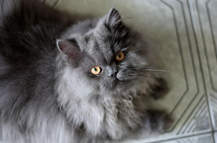 Gato persa y cataratas congénitas
