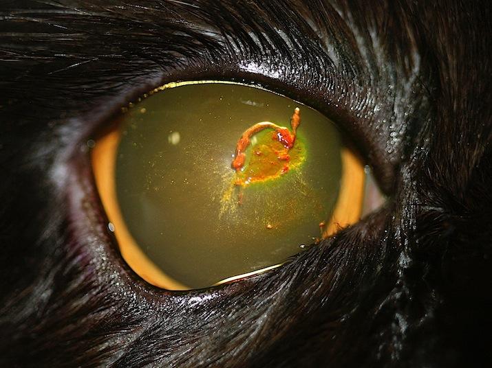 Queratitis herpética en un gato