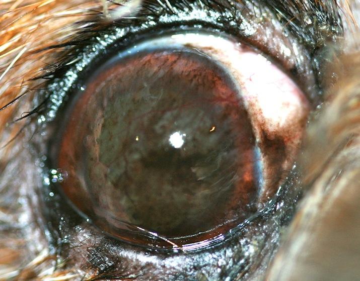 queratitis-inmunomediada-pigmentaria-shih-tzu