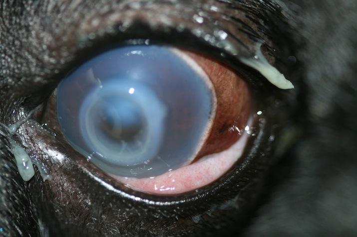 Queratitis ulcerosa bacteriana en bulldog francés