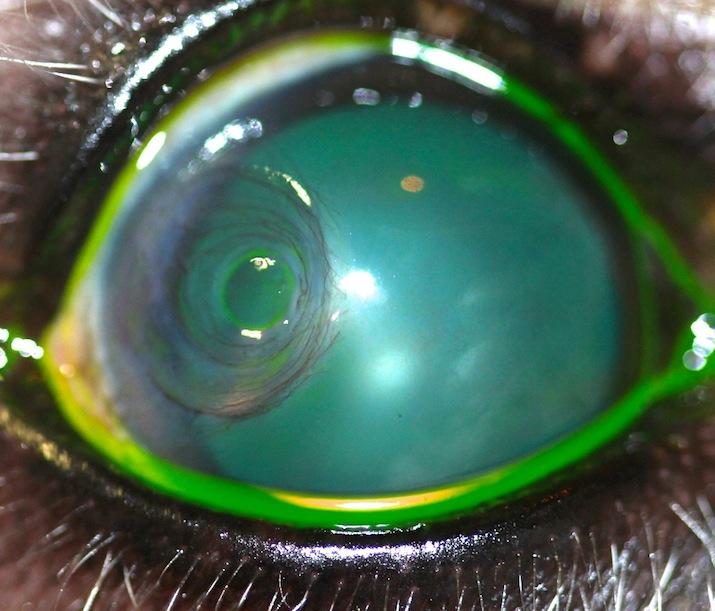 ulcera corneal predescemetica demestoceles