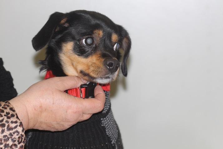 Perro con catarata bilateral