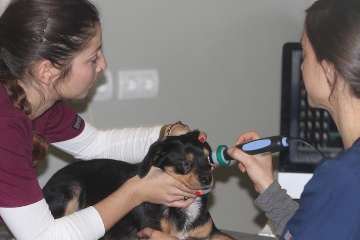 Ecografia ocular perro