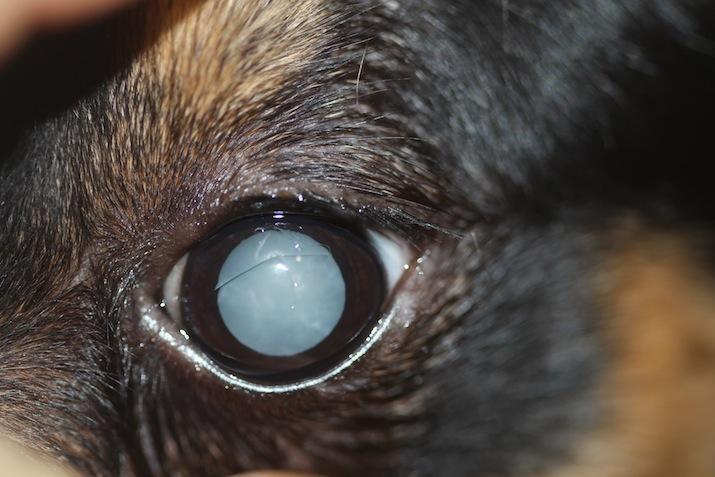 Ojo de perro con catarata