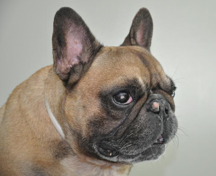 Ulcera corneal en bulldog francés