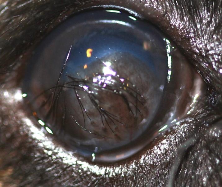 Quiste dermoide corneal en un Bulldog Francés