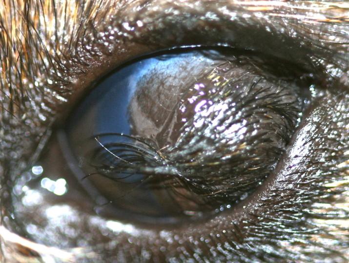 Quiste dermoide corneal en un Teckel pelo duro