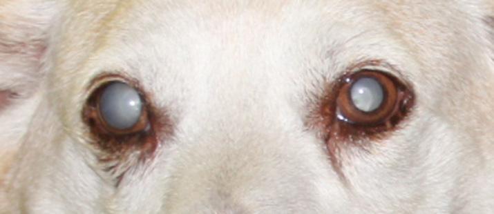 Catarata diabética perro