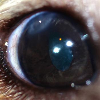 Ojo perro tras cirugía catarata