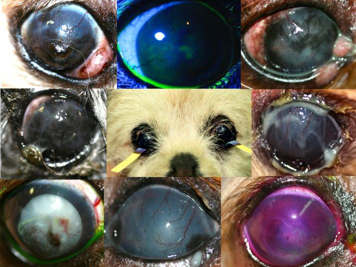Curso-Ojo-Seco-Sindrome-perro-Braquicefalico