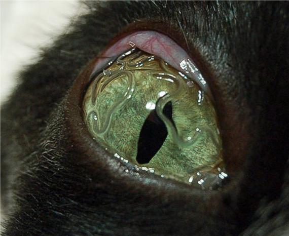 Thelazia en un gato
