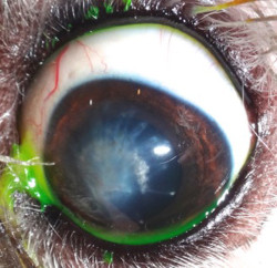 Herida en el ojo: leucoma tras cirugía injerto corneal