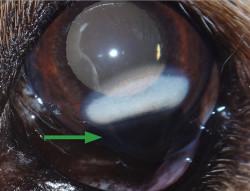 Tumor en perro (melanocitoma limbal)