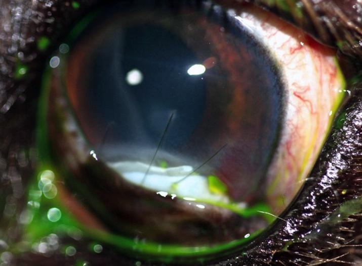 Tarsorrafia tras tratamiento tumor ocular en perro