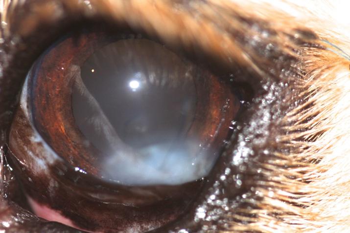 Ojo perro despues de extirpar tumor