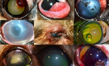Casos de urgencias oftalmológicas en pequeños animales