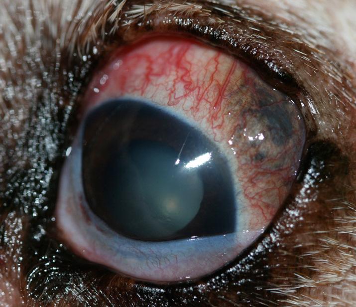 Melanoma o tumor ocular uveal en perro