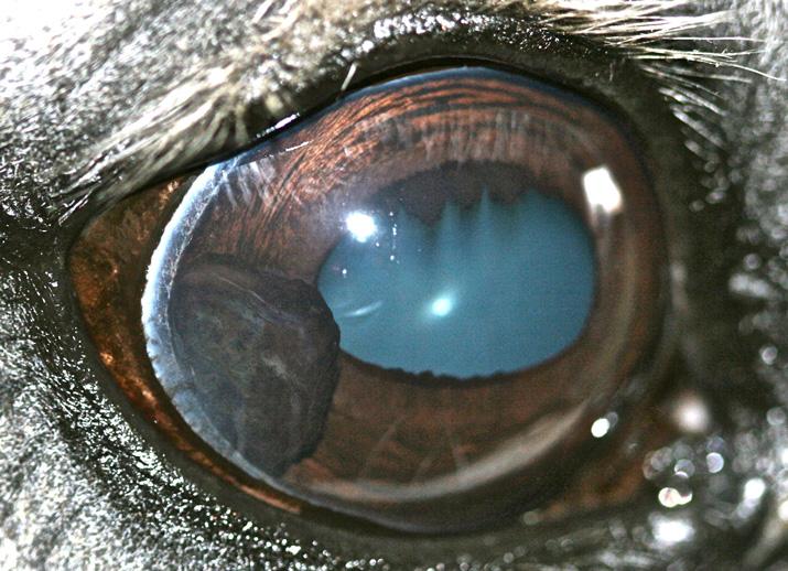 Tumor ocular uveal en un caballo