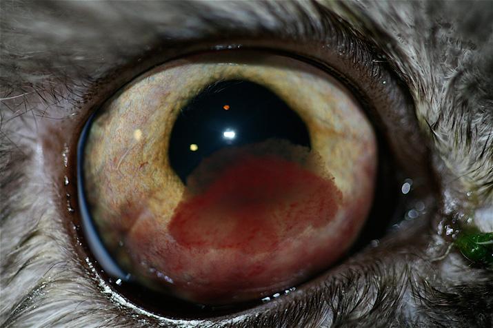 Tumor ocular en un gato (linfosarcoma)