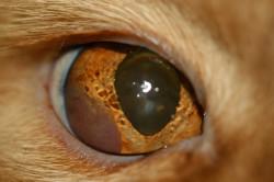 Cancer ocular o linfoma en un gato