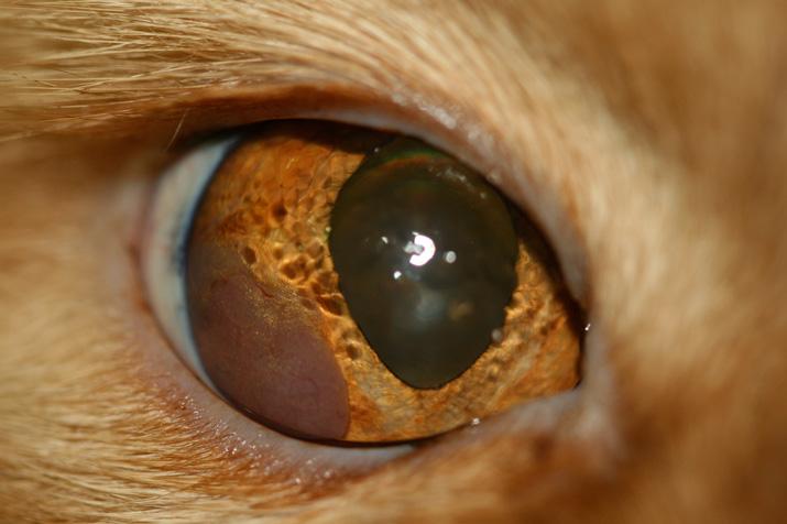 Tumor ocular o linfoma en un gato
