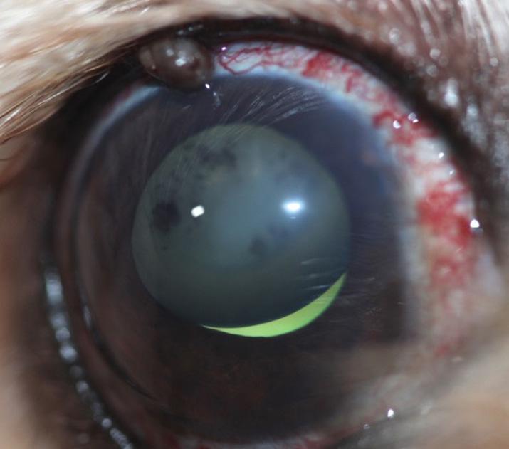 Caso glaucoma perro OD