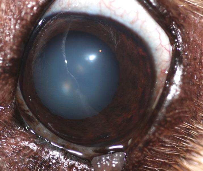 Caso glaucoma perro