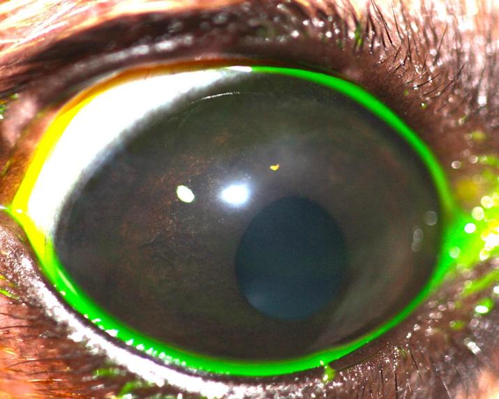 cilio-ectopico-perro-chihuahua-2