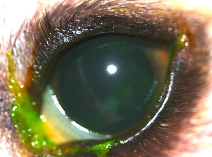 Caso de cirugía de ojo seco en perro